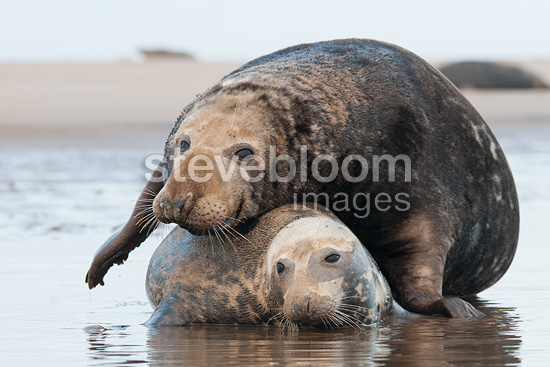Grey seals mating, Donna Nook, Lincolnshire.
