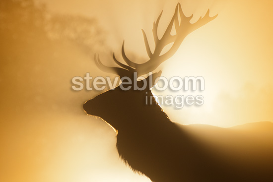 Red deer, Richmond Park, London.