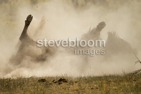 American Bison, dust bathing, Little America, Rocky Mountains, Yellowstone National Park, Wyoming, United States