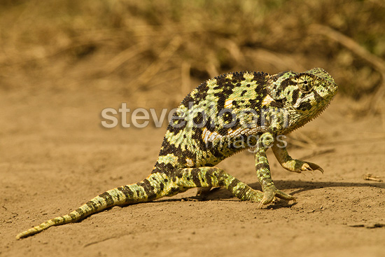 Flap-necked Chameleon walking along ground, Naabi Hill, Serengeti National Park, Tanzania
