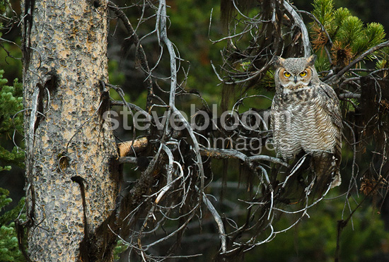 Great Horned Owl perched in tree at dusk, Yellowstone National Park, Montana, United States