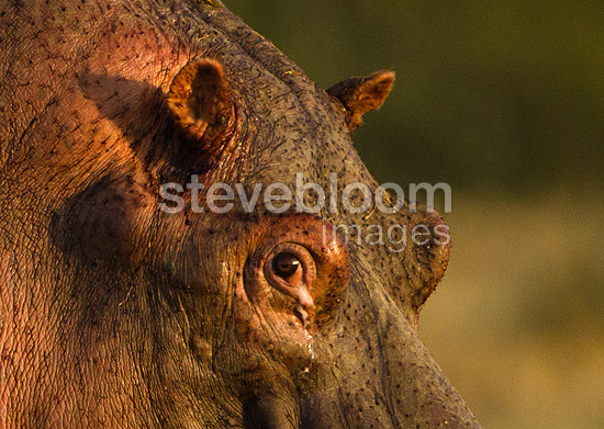 Hippopotamus close-up of eyes & ears, Moru Kopjes, Ngorongoro Crater, Serengeti National Park, Tanzania
