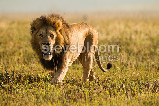 Male lion hunting in N...