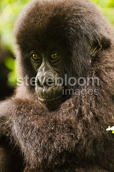 Mountain Gorillas, Amahoro baby with mother in day nest resting, Volcanoes NP, Rwanda