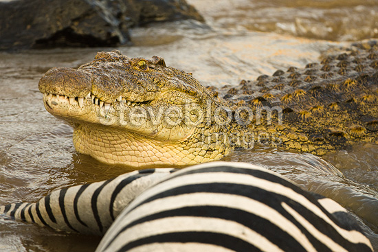 Nile Crocodile eating common zebra captured in Mara River ...