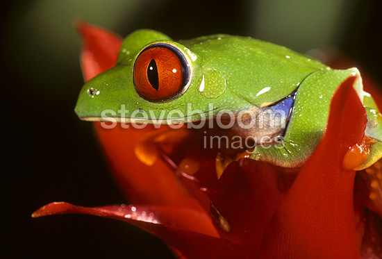Red-eyed Treefrog sitting on top of a red flower, native to Central America, captive or controlled situation