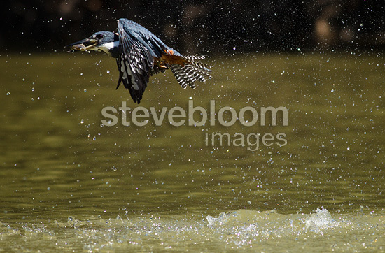 Ringed Kingfisher fishing in river, with captured fish in beak, Pantanal, Brazil, South America