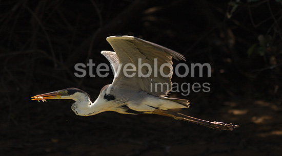 White-necked (Cocoi) Heron with captured fish in mouth, flying in the Pantanal, Brazil, South America