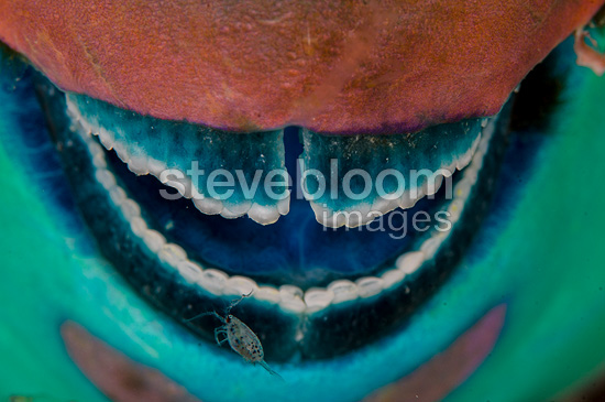 Rusty parrotfish mouth detail, Sudan