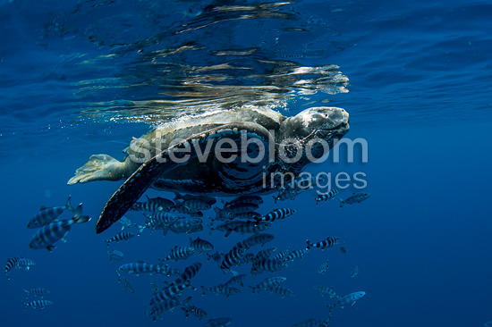Leathery or Leatherback sea turtle, eating portuguese man-of-war (bluebottle), Azores