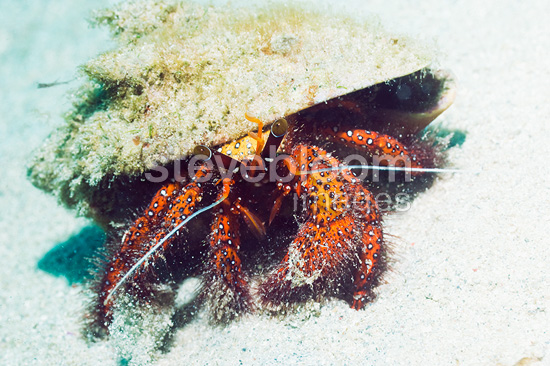 White spotted hermit crab. Manado, North Sulawesi, Indonesia.