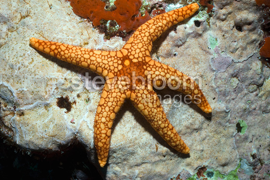 Necklace starfish or sea star. Indonesia.