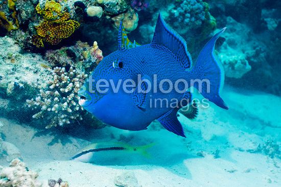 Blue triggerfish. Egypt, Red Sea.