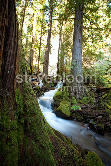 Water rushes by huge trees after tumbling over Moon Falls, Oregon, USA