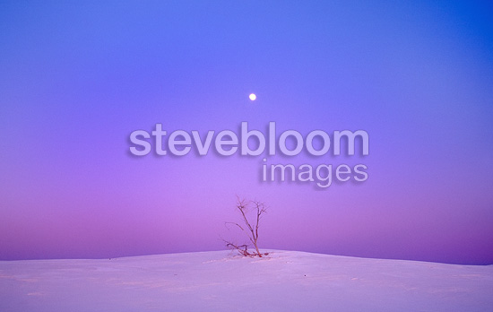 A lone, long-dead Cottonwood tree beneath a rising full moon, White Sands National Park, USA