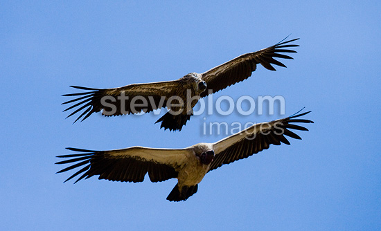 Two vultures flying over Masai Mara National Park, Kenya