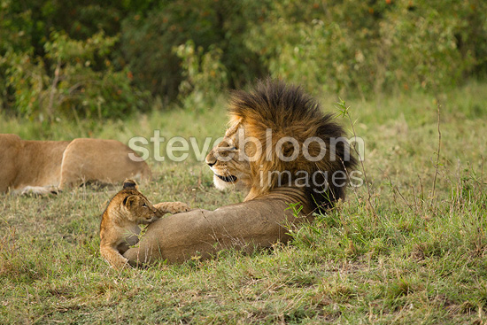 Male black maned Lion resting with cubs playing, Lower Mara, Masai Mara Game Rserve, Kenya, Africa