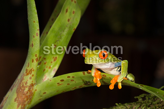 Red Eye Treefrog, Arenal Volcano, Costa Rica, Central America.  Controlled situation