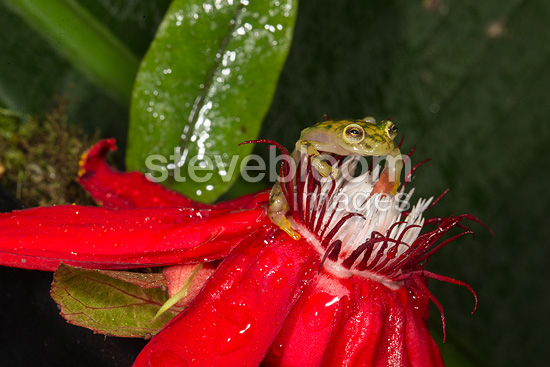 Reticulated Glass Frog, Arenal Volcano, Costa Rica, Central America.  Controlled situation
