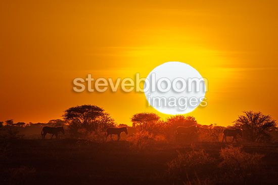 Zebras at sunset, Seregeti, Tanzania
