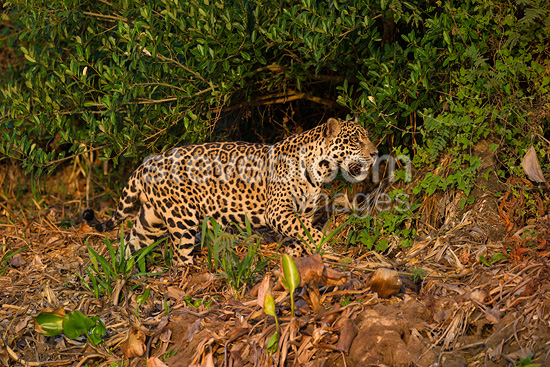 Wild male Jaguar stalking in late afternoon sun light.  Cuiaba River, Northern Pantanal, Brazil.