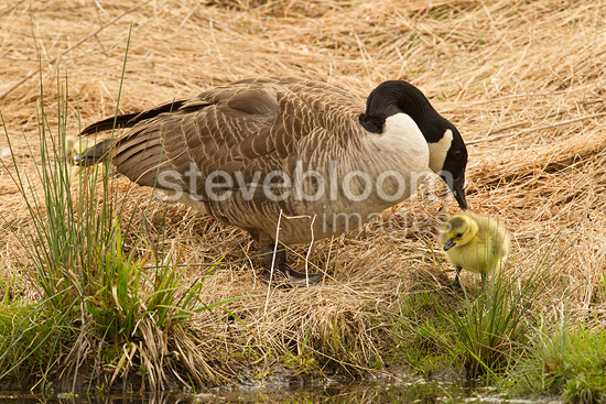 Canada Goose mother with chicks, at or near nest near pond, Central Pennsylvania, United States