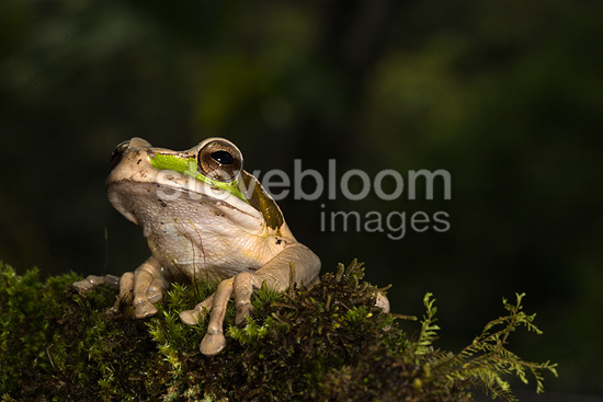 Masked Treefrog, controlled situation, Arenal Volcano, Costa Rica, Central America