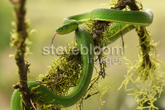 Striped Palm Pit-viper, arboreal viper, controlled situation, Arenal Volcano, Costa Rica, Central America