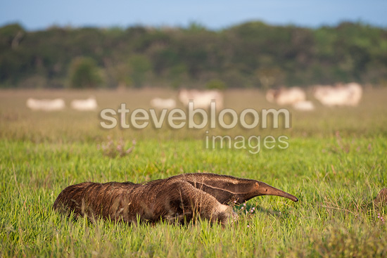 Adult Giant Anteater walking across open savannah with Brahman Cattle grazing behind. Near Unamas Private Reserve, Los Llanos, Colombia, South America.