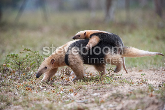 Female Southern Tamandua, also called Collared or Lesser Anteater, carrying its young / infant on her back. Northern Pantanal, Mato Grosso State, Brazil.