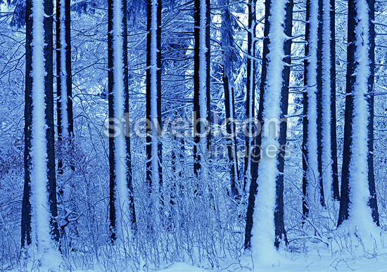Temperate mountain forest in winter, Haute-Savoie, France