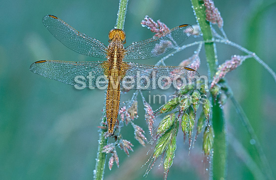 Female red darter dragonfly covered with dew, Switzerland