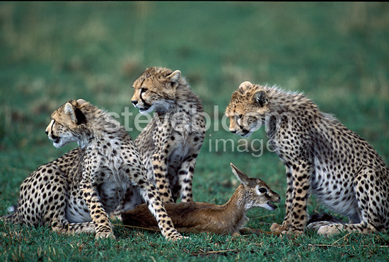 Young Cheetahs learning to hunt with a baby Thomson's gazelle, East Africa