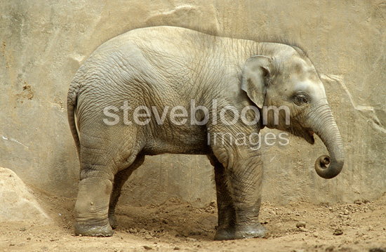 Asian elephant calf, France (captive)
