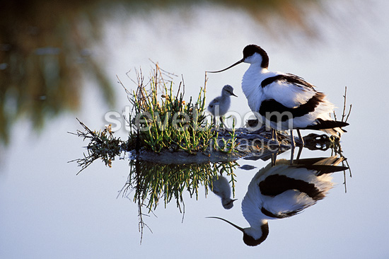 Pied Avocet and chick, Loire-Atlantique, France