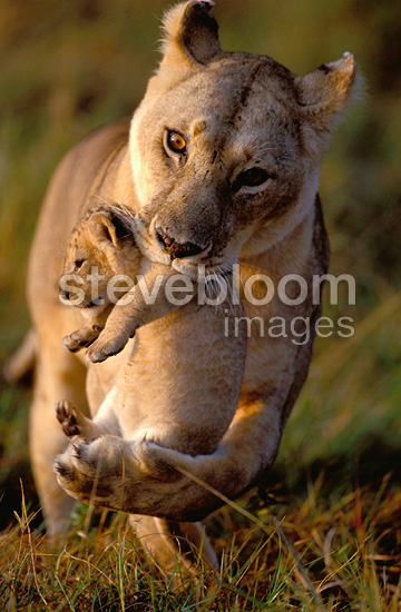 African Lioness carrying her cub in her mouth, Masai Mara, Kenya