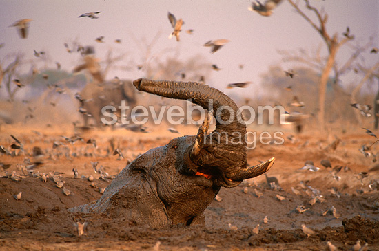 African elephant taking a mudbath, Botswana