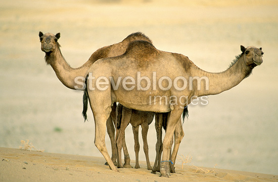 Dromedaries in the desert, Saudi Arabia
