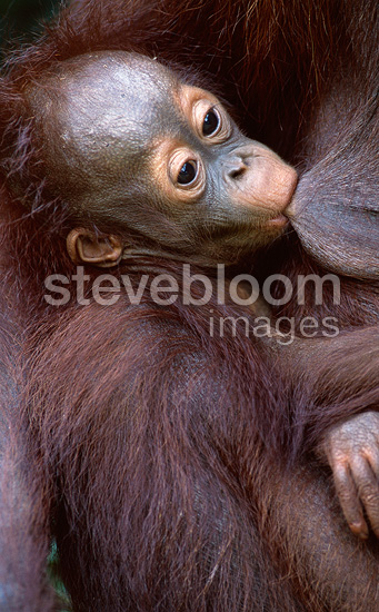 Young orangutan suckling, Borneo, Indonesia