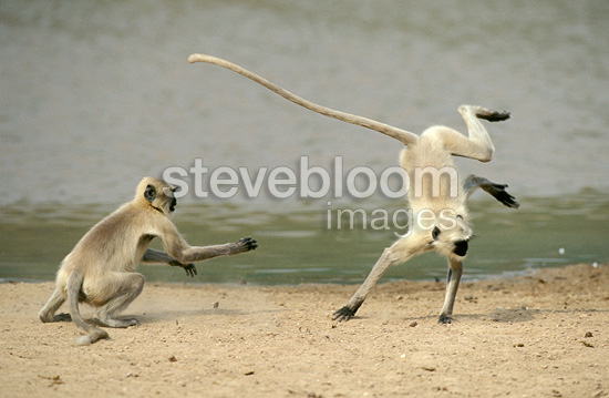 Hanuman Langurs playing, Desert of Rajasthan, India