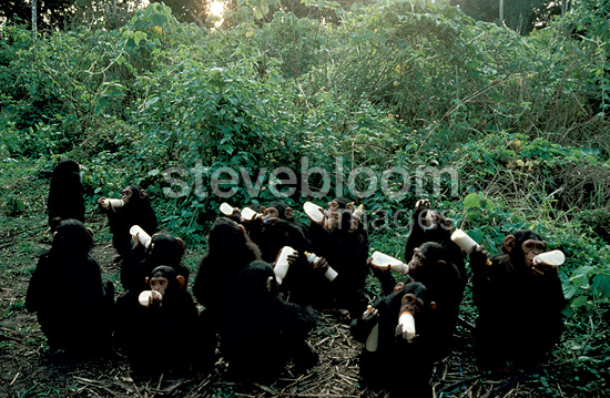Orphan chimpanzees drinking from their bottles, Congo