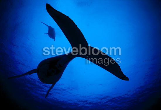 Humpback whale, Austral Islands, French Polynesia