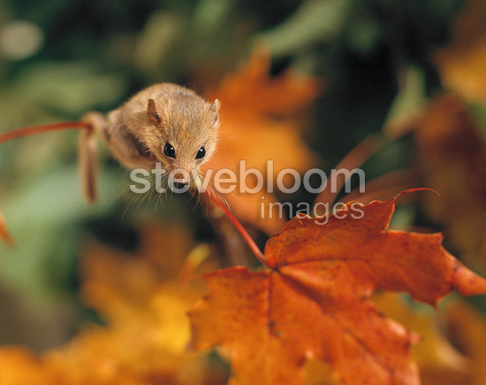 Hazel dormouse on an autumn leaf, Sweden