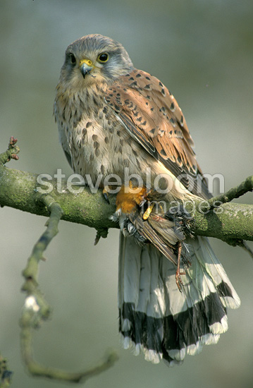 Common Kestrel with prey in its talons, France