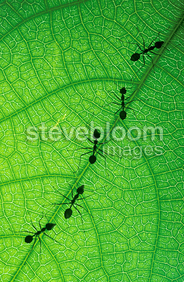 Weaver ants on a leaf, Singapore