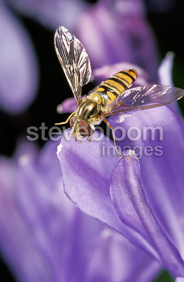 Hoverfly gathering nectar, France