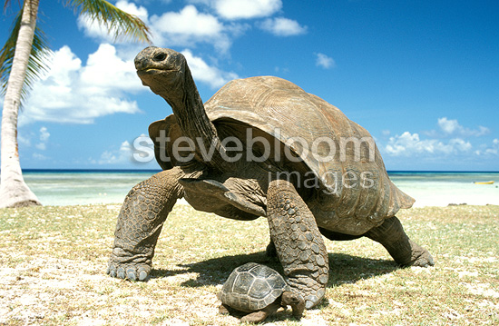 Giant Aldabra tortoise and young, Seychelles