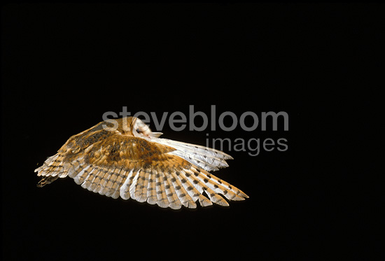 Barn Owl in flight, France