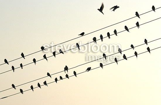 Barn swallows on electric cables
