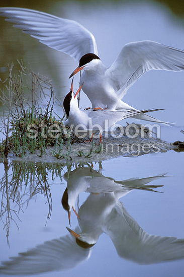 Common terns mating, Loire-Atlantique, France